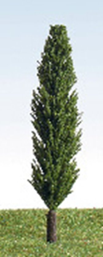 90mm Poplar Tree