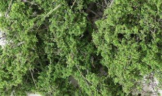 Medium Green Fine Leaf Foliage